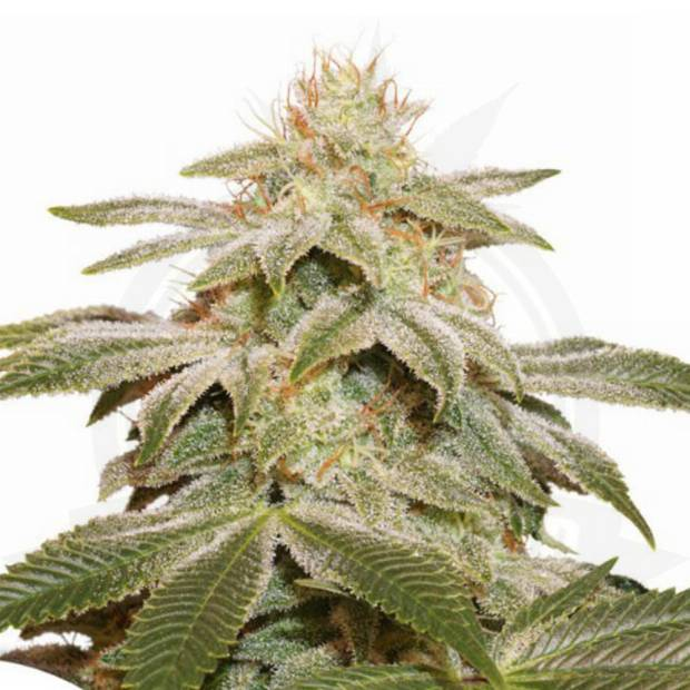 cannabis_kannabisz_seed_seeds_hanfsamen_kender_mag_dutch-passion-sugar-bomb-punch