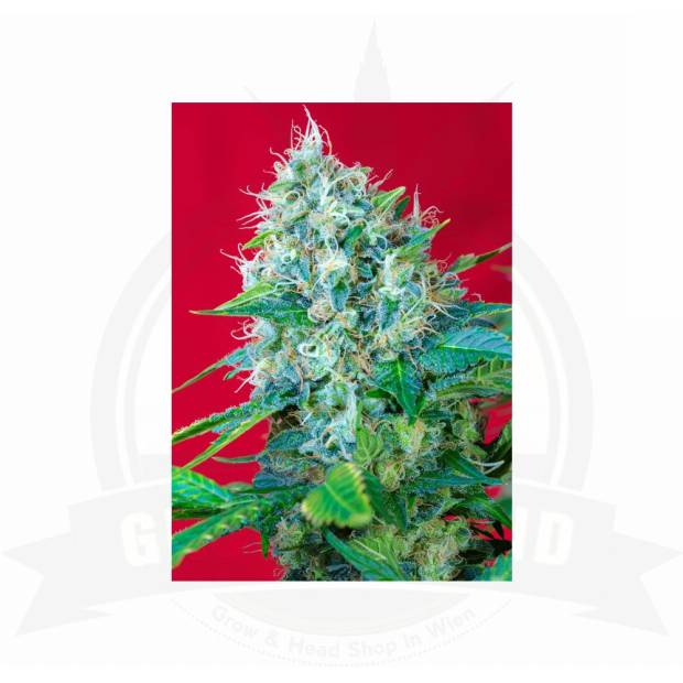 Sweet Seeds / FEM / Green Poison