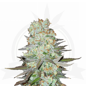 Fast Buds G14 automatic