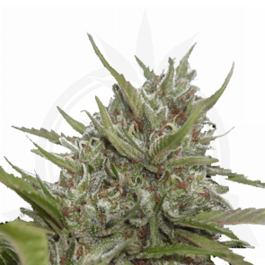 Paradise Seeds White Berry automatic