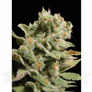 Paradise Seeds Dutch Dragon