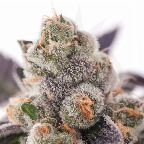 girl-scout-cookies gsc clone girl-scout-cookies-hanfstecklinge