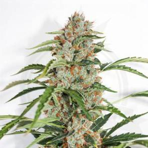 auto-orange-bud-hanfsamen-growisland-growshop-wien