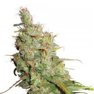 cannabis_kannabisz_seed_seeds_hanfsamen_kender_mag_dutch-passion-auto-desfran