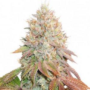 cannabis_kannabisz_seed_seeds_hanfsamen_kender_mag_dutch-passion-auto-banana-blaze