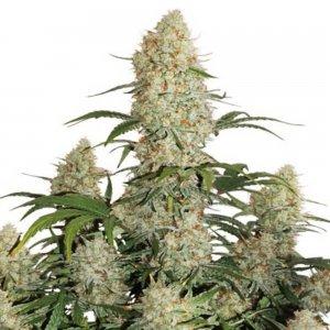 cannabis_kannabisz_seed_seeds_hanfsamen_kender_mag_dutch-passion-auto-critical-orange-punch