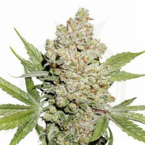 cannabis_kannabisz_seed_seeds_hanfsamen_kender_mag_dutch-passion-auto-lemon-kix