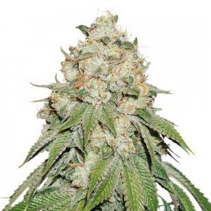 cannabis_kannabisz_seed_seeds_hanfsamen_kender_mag_dutch-passion-banana-blaze