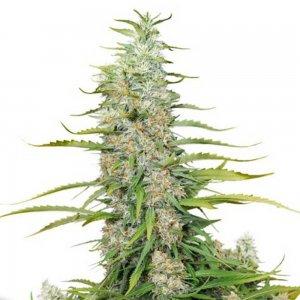 cannabis_kannabisz_seed_seeds_hanfsamen_kender_mag_dutch-passion-c-vibez