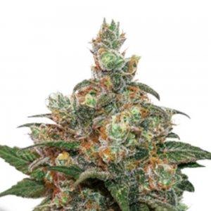 cannabis_kannabisz_seed_seeds_hanfsamen_kender_mag_dutch-passion-hifi-4g