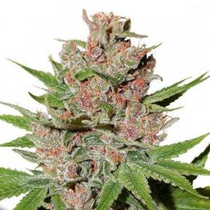 cannabis_kannabisz_seed_seeds_hanfsamen_kender_mag_dutch-passion-passion-fruit