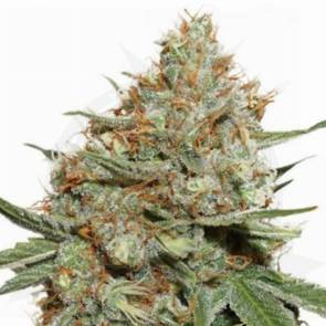 cannabis_kannabisz_seed_seeds_hanfsamen_kender_mag_dutch-passion-skunk11