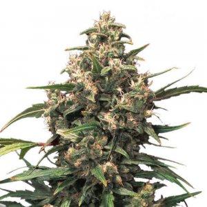 cannabis_kannabisz_seed_seeds_hanfsamen_kender_mag_dutch-passion-strawberry-cough