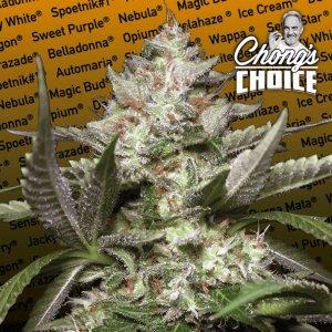 cannabis_kannabisz_seed_seeds_hanfsamen_kender_mag_paradise_seeds_auto_kong