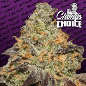 cannabis_kannabisz_seed_seeds_hanfsamen_kender_mag_paradise_seeds_blue_kush_berry