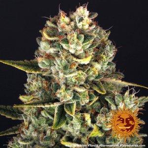 cannabis_kannabisz_seed_seeds_hanfsamen_kender_mag_barneys_farm_gorilla_zkittlez