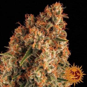cannabis_kannabisz_seed_seeds_hanfsamen_kender_mag_barneys_farm_orange_sherbert