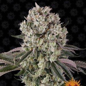 cannabis_kannabisz_seed_seeds_hanfsamen_kender_mag_barneys_farm_glookies