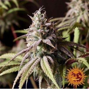 cannabis_kannabisz_seed_seeds_hanfsamen_kender_mag_barneys_farm_peyote-cookies