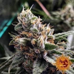 cannabis_kannabisz_seed_seeds_hanfsamen_kender_mag_barneys_farm_peyote_critical