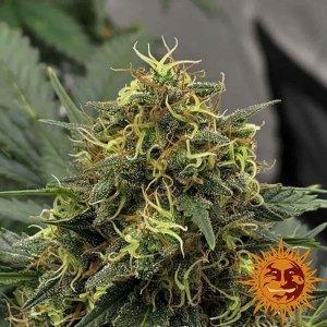 cannabis_kannabisz_seed_seeds_hanfsamen_kender_mag_barneys_farm_shiskaberry