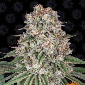 cannabis_kannabisz_seed_seeds_hanfsamen_kender_mag_barneys_farm_tropicanna_banana