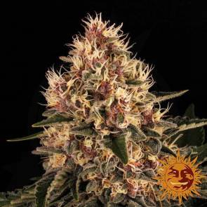 cannabis_kannabisz_seed_seeds_hanfsamen_kender_mag_barneys_farm_pink_kush