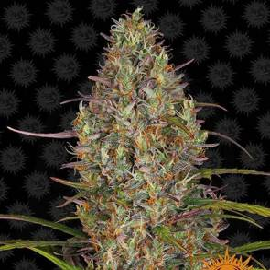 cannabis_kannabisz_seed_seeds_hanfsamen_kender_mag_barneys_farm_glue_gelato_auto