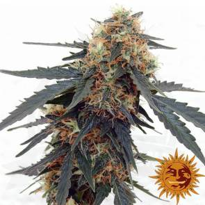 cannabis_kannabisz_seed_seeds_hanfsamen_kender_mag_barneys_farm_tangerine_dream_auto