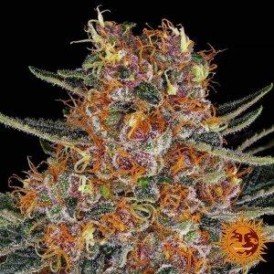 cannabis_kannabisz_seed_seeds_hanfsamen_kender_mag_barneys_farm_purple_punch_auto