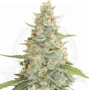 cannabis_kannabisz_seed_seeds_hanfsamen_kender_mag_dutch-passion_meringue