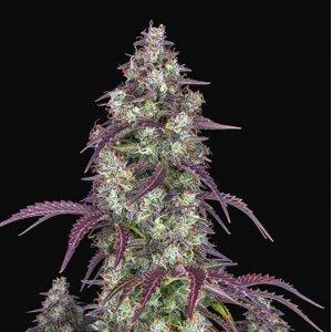 cannabis_kannabisz_seed_seeds_hanfsamen_kender_mag_fast_buds_lemon_pie_auto