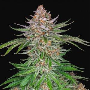 cannabis_kannabisz_seed_seeds_hanfsamen_kender_mag_fast_buds_strawberry_pie_auto
