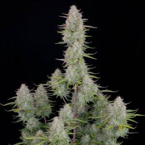 cannabis_kannabisz_seed_seeds_hanfsamen_kender_mag_fast_buds_wedding_cheesecake_auto