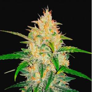 cannabis_kannabisz_seed_seeds_hanfsamen_kender_mag_fast_buds_zkittlez_auto