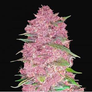 cannabis_kannabisz_seed_seeds_hanfsamen_kender_mag_fast_buds_purple_lemonade_auto