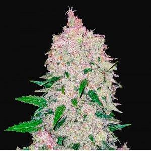 cannabis_kannabisz_seed_seeds_hanfsamen_kender_mag_fast_buds_stardawg_auto