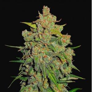 cannabis_kannabisz_seed_seeds_hanfsamen_kender_mag_fast_buds_lemon_ak_auto