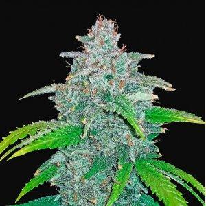 cannabis_kannabisz_seed_seeds_hanfsamen_kender_mag_fast_buds_blue_dreammatic_auto