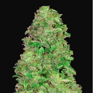 cannabis_kannabisz_seed_seeds_hanfsamen_kender_mag_fast_buds_cbd_auto