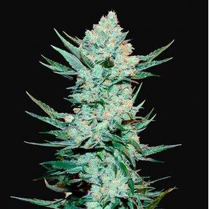 cannabis_kannabisz_seed_seeds_hanfsamen_kender_mag_fast_buds_tangiematic_auto