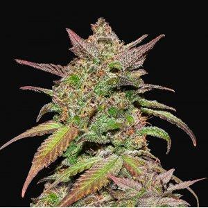 cannabis_kannabisz_seed_seeds_hanfsamen_kender_mag_fast_buds_smoothie_auto