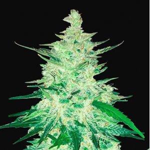 cannabis_kannabisz_seed_seeds_hanfsamen_kender_mag_fast_buds_cbd_crack_auto