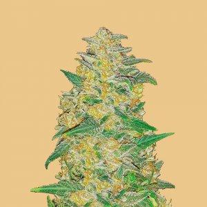 cannabis_kannabisz_seed_seeds_hanfsamen_kender_mag_fast_buds_original_ak_auto