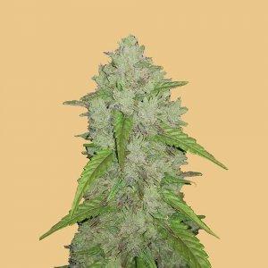 cannabis_kannabisz_seed_seeds_hanfsamen_kender_mag_fast_buds_original_amnesia_haze_auto