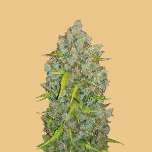 cannabis_kannabisz_seed_seeds_hanfsamen_kender_mag_fast_buds_original_bubblegum_auto