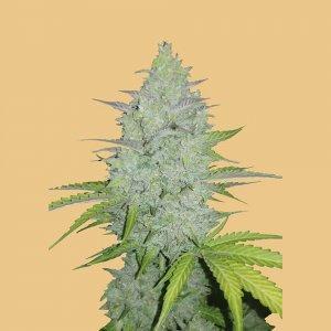 cannabis_kannabisz_seed_seeds_hanfsamen_kender_mag_fast_buds_original_cheese_auto