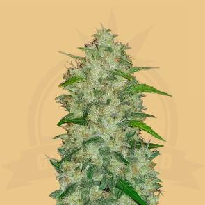 cannabis_kannabisz_seed_seeds_hanfsamen_kender_mag_fast_buds_original_chemdawg_auto
