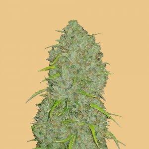 cannabis_kannabisz_seed_seeds_hanfsamen_kender_mag_fast_buds_original_jack_herer_auto