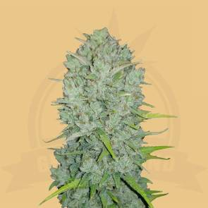cannabis_kannabisz_seed_seeds_hanfsamen_kender_mag_fast_buds_original_northern lights_auto